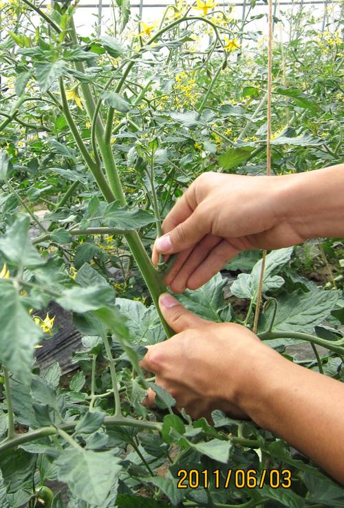ミニトマト 芽かき