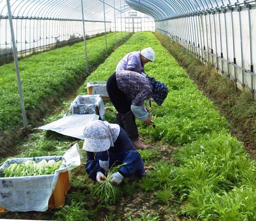 水菜の収穫